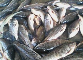 Giải đáp cá trôi ăn gì