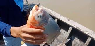 Lưu ý một số kỹ thuật câu cá chim đúng chất cần thủ