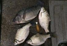 Kỹ thuật câu cá diếc cho ai chưa có kinh nghiệm