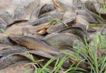 Phân loại một số giống cá trê